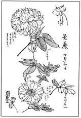菊花简笔画2