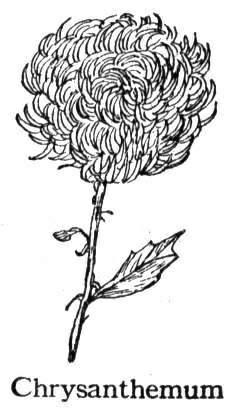菊花简笔画[13p]_植物简笔画(涂色图片)