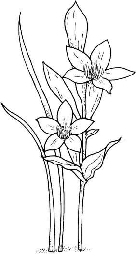 水仙花简笔画[12p]_植物简笔画(涂色图片)