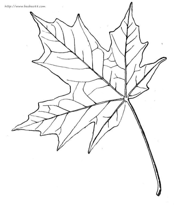 枫叶简笔画[10p]_植物简笔画(涂色图片) - 【宝宝吧】; 秋天枫树简笔