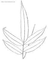 蕨类植物简笔画2