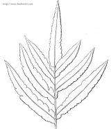 蕨类植物简笔画3