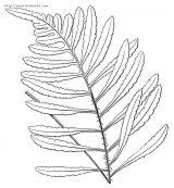 蕨类植物简笔画4