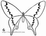 四种蝴蝶的画法6